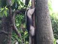 ミナミコアリクイの木登り